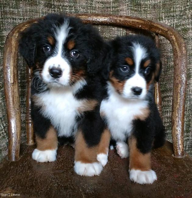 Beaitiful new Litter Bernese Mountain Dog Puppies (Biggin ...