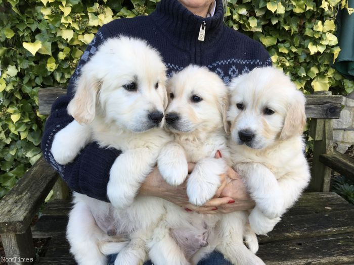 Kc Registered Chunky Golden Retriever Puppies (Alcester