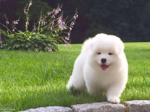 Samoyed Puppies For Sale At Give Away Prices Anstruther Fife Nomtimes Uk