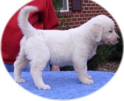 Top Quality Golden Retriever Puppies For Sale Brixham Devon Nomtimes Uk